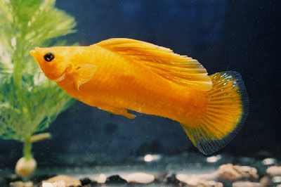 17 best images about livebearers on pinterest the smalls for Molly fish food