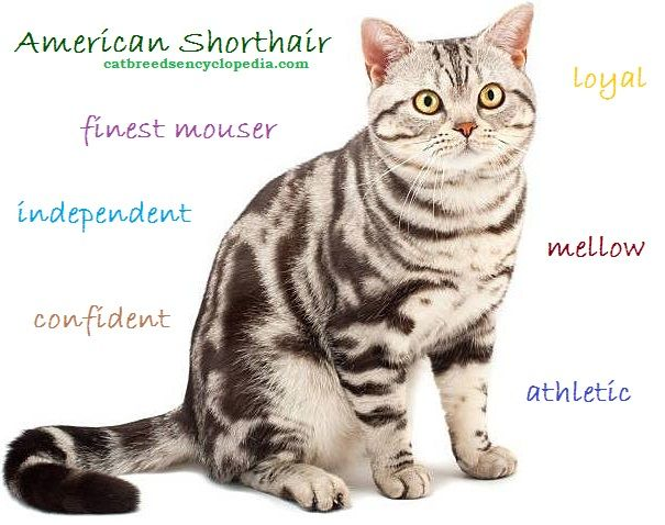 Ancestors of American Shorthair cats probably helped keep rats off the Mayflower!
