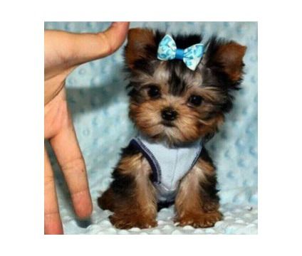 Teacup Yorkie Puppies Dad 25 Lbs Mom 4 Lbs Micro Tiny Female