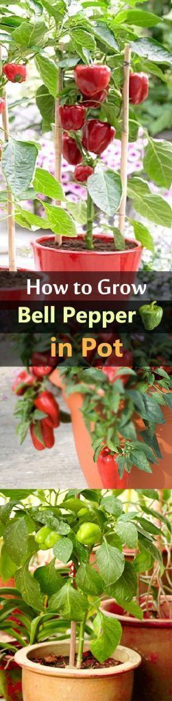How to Grow Bell Peppers in Pots #hydroponicsplants #hydroponicstips