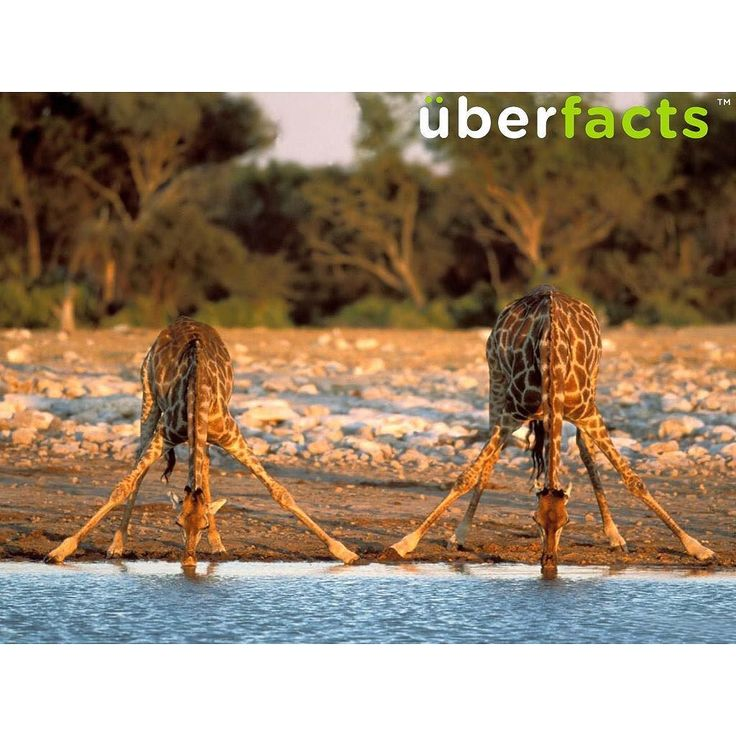 This is how giraffes drink water. #uberfacts