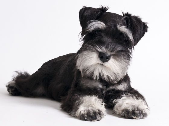 How Well Do You Know Schnauzers?