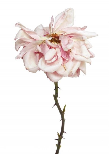 Rachel Levy | DECAYING FLOWERS
