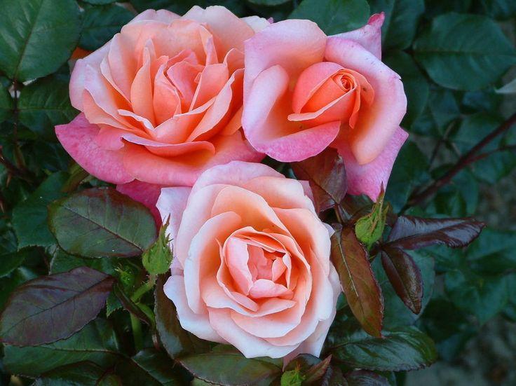 Amberlight - Hybrid Teas - Old Garden Roses - Rose Catalog - Tasman Bay Roses - Buy Roses Online in New Zealand