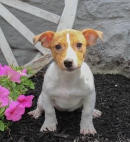 Jack Russell Terrier Puppies for Sale | Lancaster Puppies