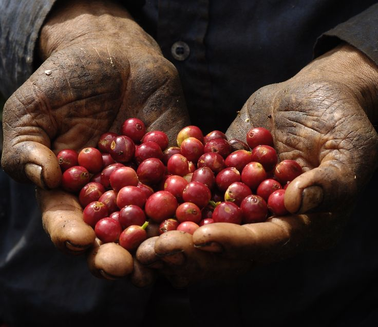 It's hard to believe that the coffee in your cup started off as these little red berries.