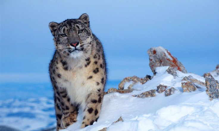 Snow Leopard's are my favorite animals.  They are excellent climbers which comes in handy when they hunt  on the steep slopes of the Himalayas.