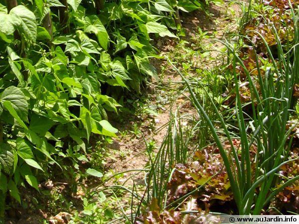 Dans les allées et entre les rangs du potager des mauvaises herbes se développent