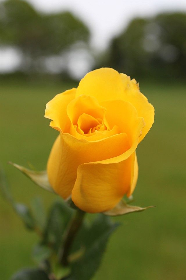 Sussex Roses - Wholesale Roses to anywhere in the UK
