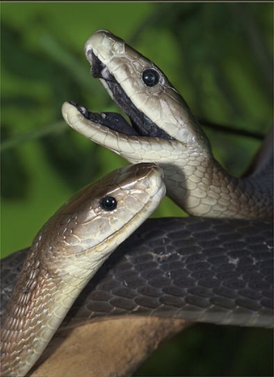 Black Mamba...is the world's second longest venomous snake and the fastest snake on Earth!  It averages 8.2' in length and can move at speeds of 14 mph.  This snake is very deadly and respiratory failure or heart attack typically occur in humans 30 min. to one hr. after bitten.