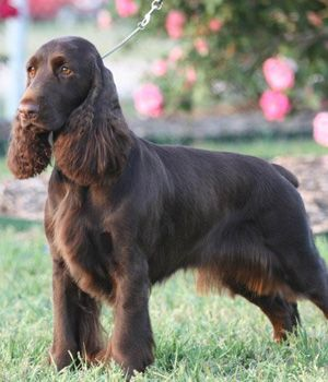 Field Spaniel, suitable for dog agility and hunting. #DogBreeds #NaturesSelect
