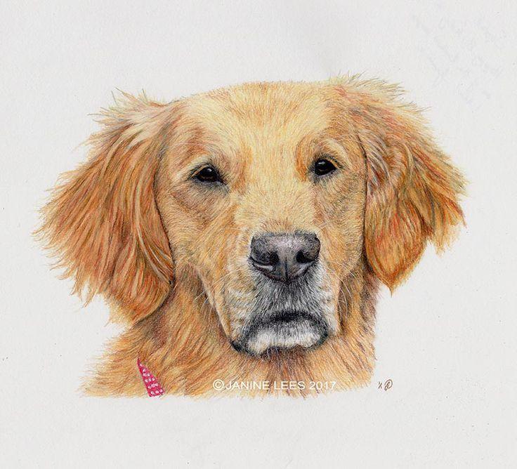 'Tilly' The Golden Retriever by Janine Lees (2017). Coloured Pencil Portrait.