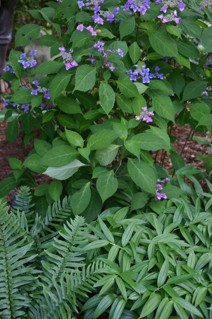 As 25 ideias mais lindas de solomons seal no pinterest - Flores de sombra ...
