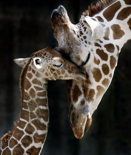 Mommy And Baby Giraffe