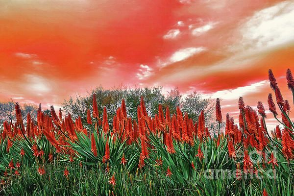 Bright #Red #Aloe #Flowers by #Kaye_Menner #Photography Quality Prints Cards Products at: https://kaye-menner.pixels.com/featured/bright-red-aloe-flowers-by-kaye-menner-kaye-menner.html