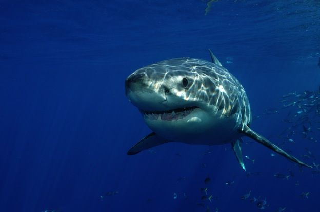Great White Shark - The great white shark is one of the most feared in the world.