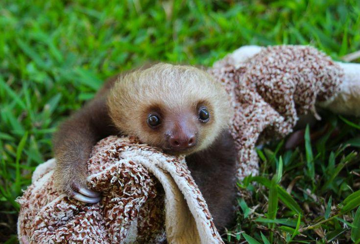 Sloth cuddle time.