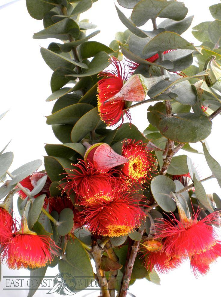 EUCALYPTUS MACROCARPA - available Sept-Dec. Big orange-red-yellow tassel blossoms cover this Australian native gum. Fantastic for Christmas wreaths and xmas flower arrangements