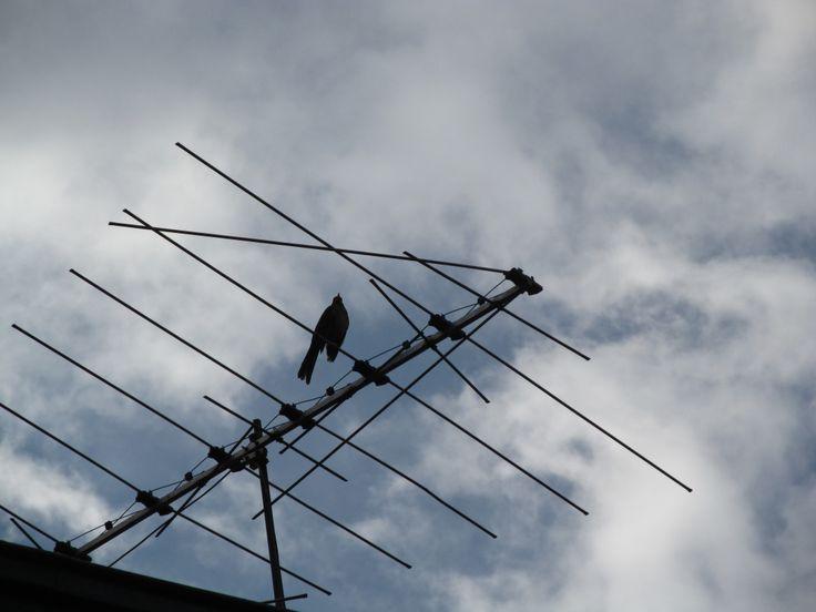 Pájaro descansando en una antena de televisión clásica.