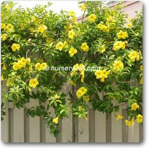 Climbers Creepers Online At Nursery Live Leaves Flowers Pinterest Plants Flowering And