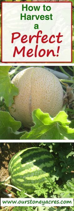 Picking melons can be tricky some times. Here a guide to picking the perfect melon every time. How to harvest watermelon or cantaloupe from the garden! #GardeningUrban