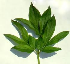 Image result for peony leaves