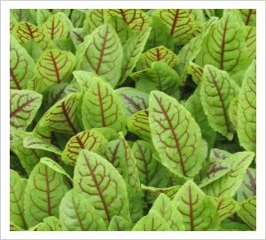 Herbs, Sorrel, French Red Veined | Lambley Nursery