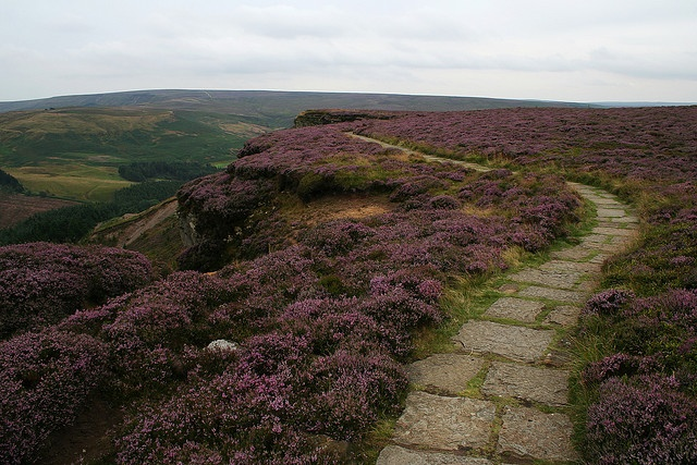 Heather, Urra Moor, North York Moors, UK ...Read many a Victorian novel with a Moor in it.  I wanna see one for real.  This one will do...