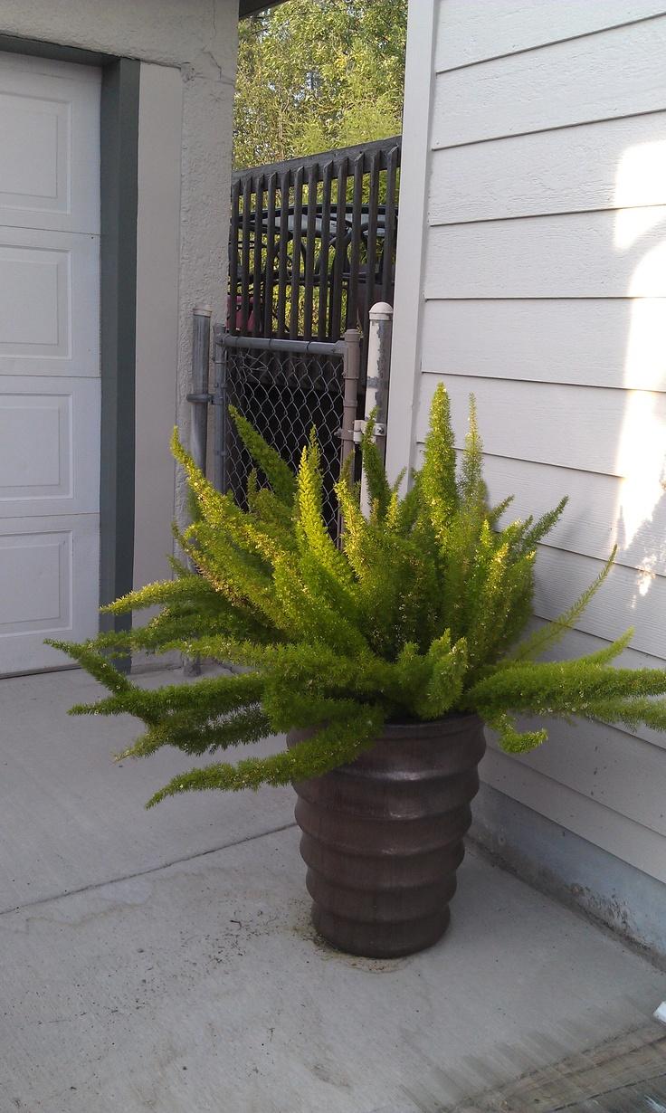 Foxtail fern gardening ferns plants 22 best