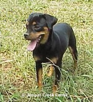 This fantastic dog breed is a Carlin Pinscher,  the breed is a cross between a pug and a min pinscher. They love following you around, snuggling under covers, playing fetch, eating, and pettings!