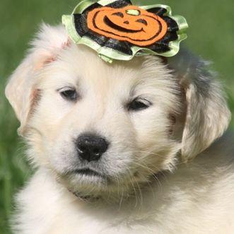 White English Cream Golden Retriever Puppy.