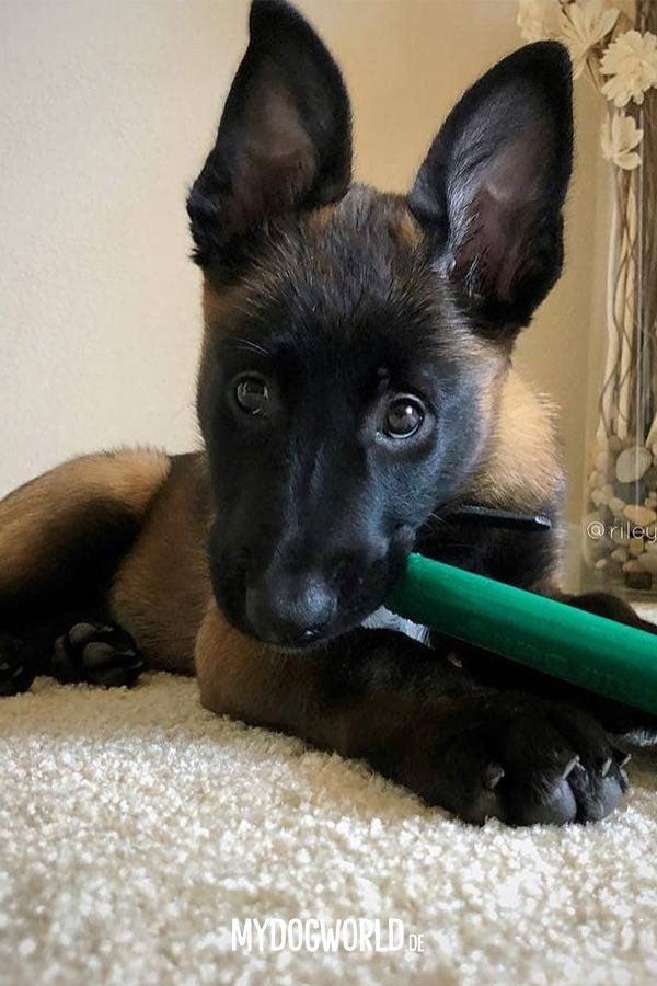 Cute Puppy Belgian Malinois Puppy Malinois Puppies Belgian Malinois Puppies Malinois Dog