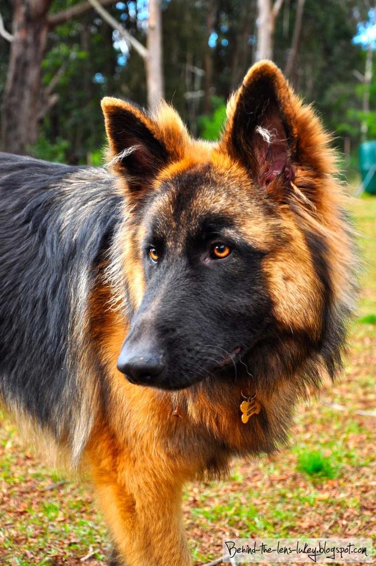 Behind The Lens Lukey: Tha Dawg - Jonah.... German Police Dogs, Fav German Shepherd,  German Shepherd Dogs, German Shepherds, Dogs German, German Shepard, Beautiful German