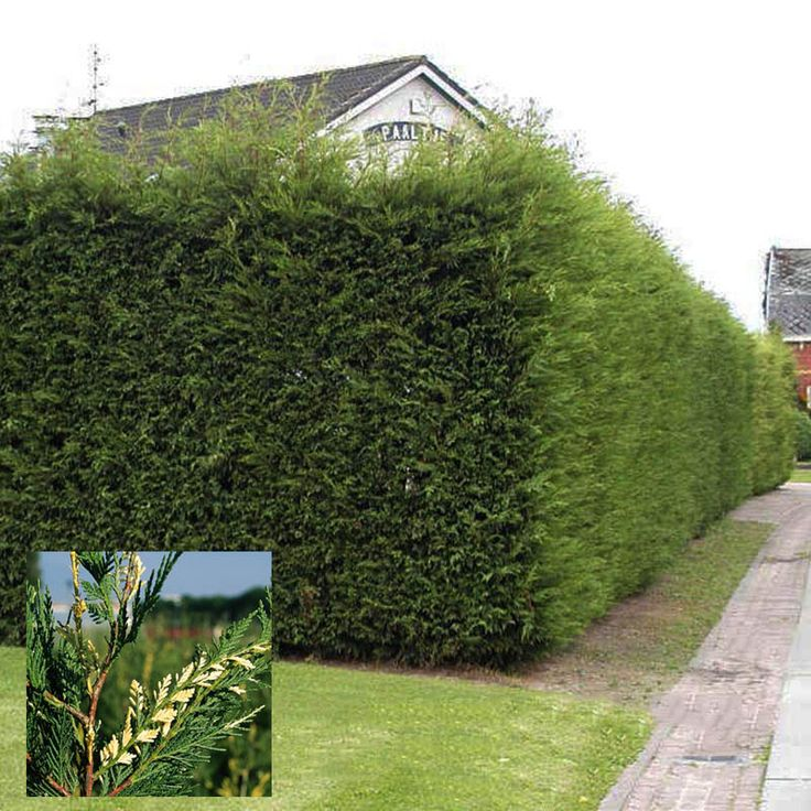 Photos For Best Rate Landscape Design: Leylandii Growth Rate