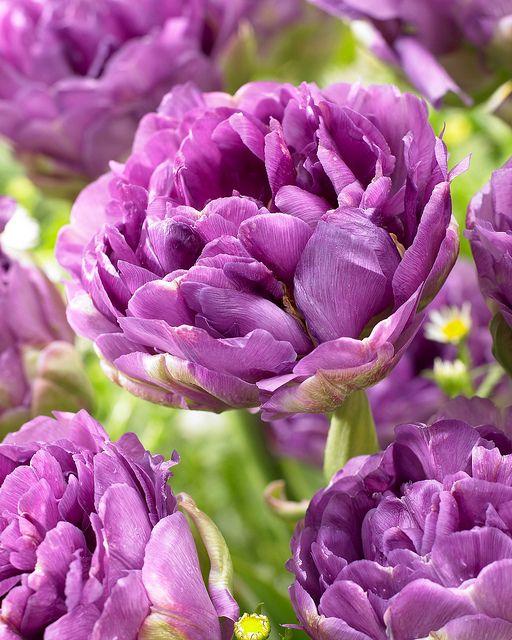 die besten 17 ideen zu lila tulpen auf pinterest sch ne blumen lila blumen und tulpe. Black Bedroom Furniture Sets. Home Design Ideas