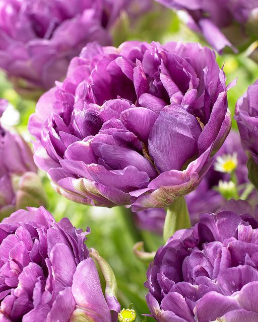 ~~Tulip 'Blue Wow' ~ blue-violet tulip with an enormous number of petals, late flowering | Pressebereich Dehner Garten-Center~~