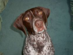 Introducing Mid-Atlantic German Shorthaired Pointer Rescue, one of our Shelter Sunday regulars. Learn about their good work & keep the giving spirit alive by donating something from their wishlist or funds to help!