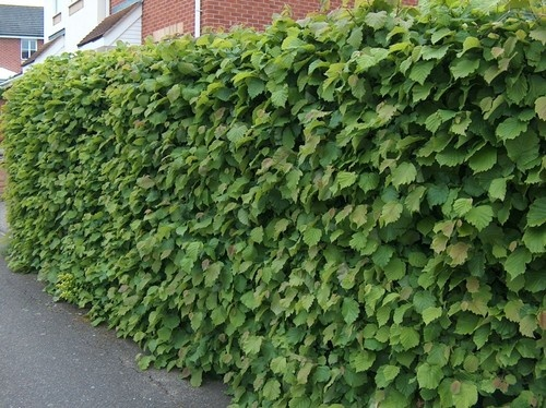25 x 60-100cm tall 2 year Hazel Hedge Plants (Corylus Avellana) + FREE Guide | eBay
