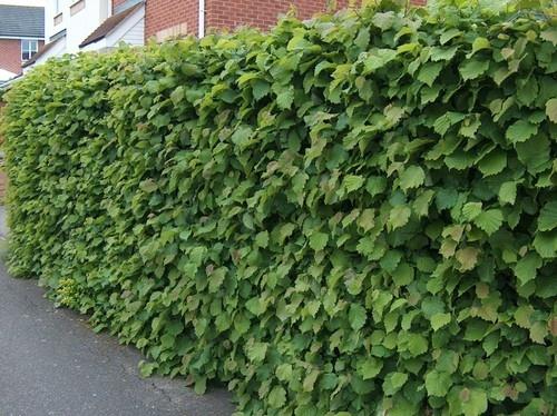 25 x 60-100cm tall 2 year Hazel Hedge Plants (Corylus Avellana) + FREE Guide | eBay