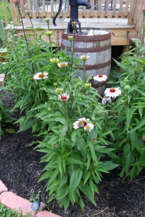 coneflower garden junkrustic gardensgarden ideas