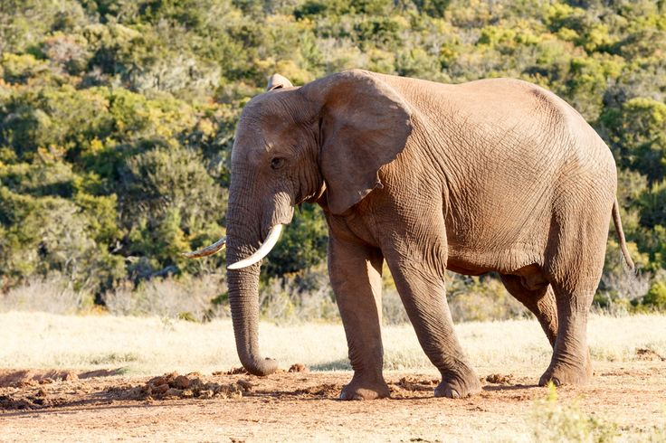 On the way to the dam - African Bush Elephant On the way to the dam - The African bush elephant is the larger of the two species of African elephant. Both it and the African forest elephant have in the past been classified as a single species.