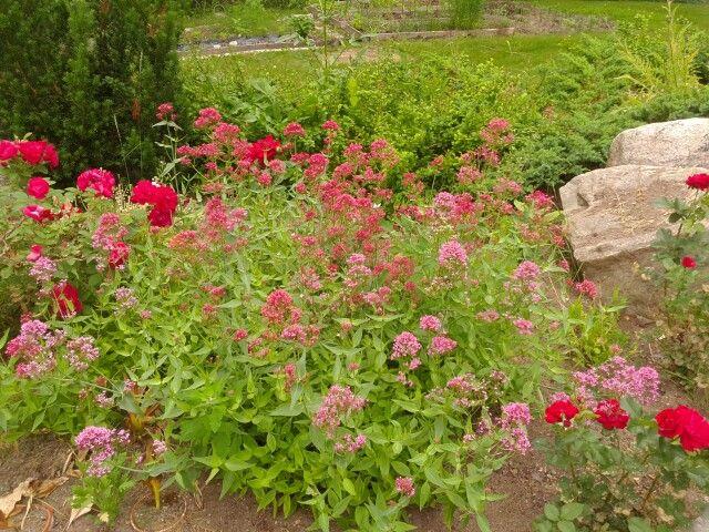"Centranthus ruber ""pretty betsy"""
