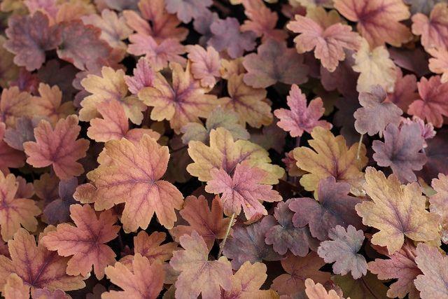 Heucherella `Sweet Tea` | wintergroene vaste planten | Tuinplanten stekplek