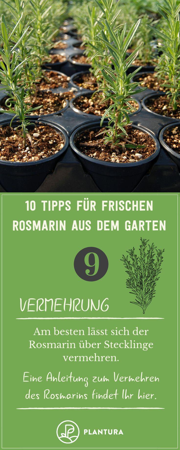 10 Tipps für frischen Rosmarin aus dem eigenen Beet