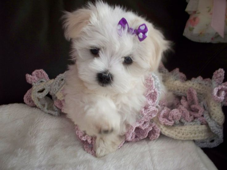 Pictures Of Small Toy Breed Dogs