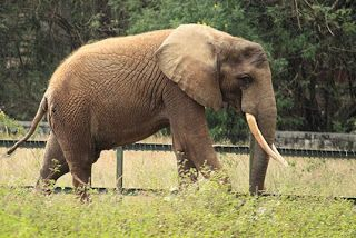 African Elephant at Mysore Zoo