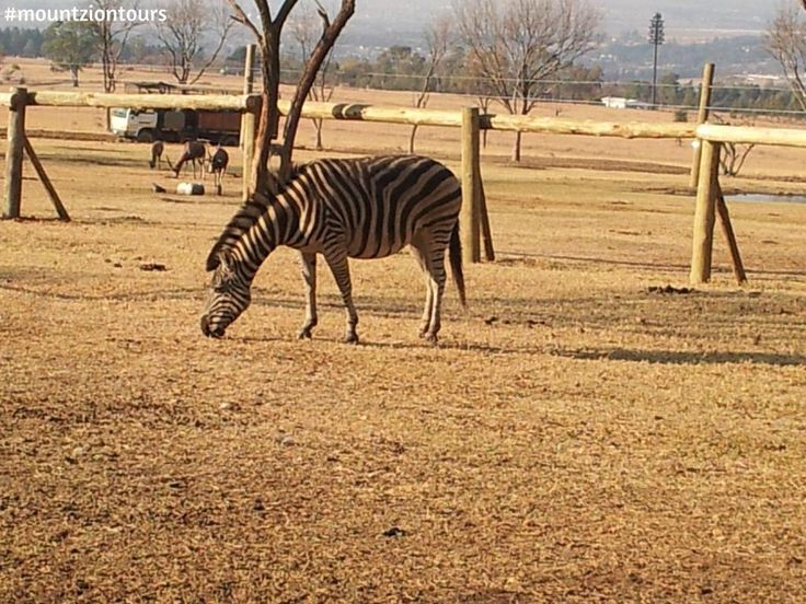 Expect to see a zebra with #mountziontours at Lion Park.