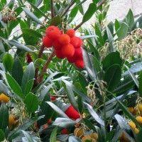 Découvrez l\'Arbousier (arbutus) ou Arbre aux fraises : un bel arbuste à feuillage persitant et à fruits rouges très décoratifs et comestibles.
