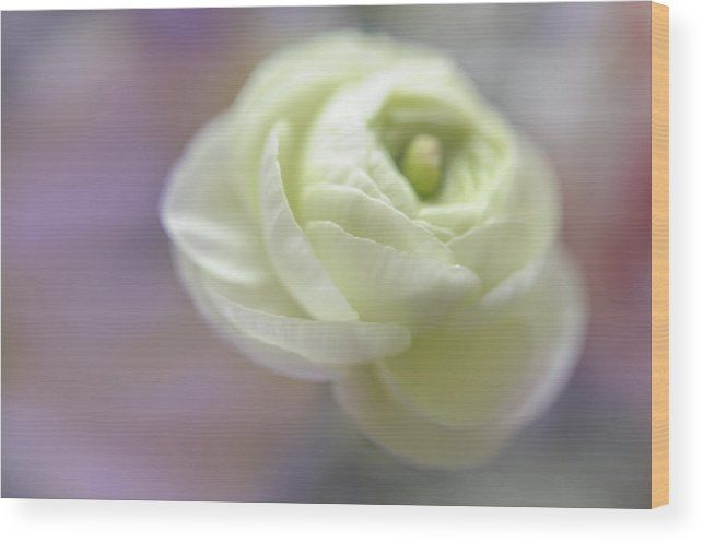 Jenny Rainbow Fine Art Photography Wood Print featuring the photograph White Ranunculus Bud by Jenny Rainbow