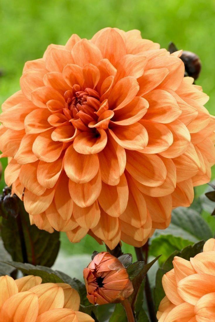 Flower Flowers Pinterest Flowers Perennials And Beautiful Flowers